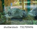 african tortrix porcupine at... | Shutterstock . vector #731709496