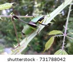 colorful insect  cricket  in