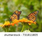 Two Monarch Butterflies On...