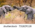 two friendly male elephants... | Shutterstock . vector #731829118