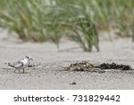 Young Least Tern