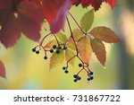 wild grapes in autumn in the... | Shutterstock . vector #731867722