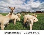 a herd of alpaca standing and... | Shutterstock . vector #731965978