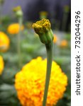 Small photo of Yellow Marigolds (Tagetes erecta, Mexican marigold, Aztec marigold, African marigold)