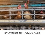 hens and eggs chickens in farm  ... | Shutterstock . vector #732067186