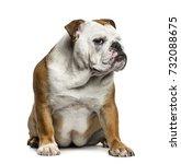 english bulldog sitting ... | Shutterstock . vector #732088675