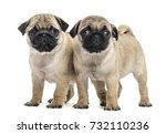 Stock photo pug puppies side by side isolated on white 732110236