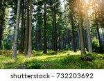 spruces growing in evergreen... | Shutterstock . vector #732203692