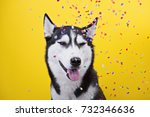 Small photo of funny funny disparate dog breed Siberian husky on a yellow background under a hail of confetti, the concept of dog emotions, humor, sarcasm