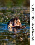 duck family. nature background. | Shutterstock . vector #732381316