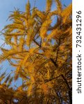 Small photo of Larch branch