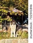 fluffy caucasian shepherd dog... | Shutterstock . vector #732541846