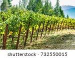 grape vineyard in napa valley...   Shutterstock . vector #732550015