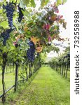 bunches of ripe grapes before...   Shutterstock . vector #732558988