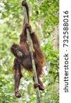 central bornean orangutan  ...   Shutterstock . vector #732588016