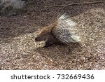 small porcupine on the ground... | Shutterstock . vector #732669436