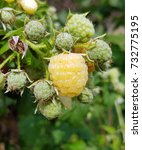 Raspberry  Yellow  Elida ...