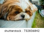 Boring Shih Tzu Dog Close Up