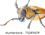 insect mulberry borer long horn beetle - stock photo