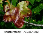 Small photo of Leaf turning red during fall season on American sweetgum tree, also called american storax, hazel pine, bilsted, redgum or satin-walnut, latin name Liquidambar Styraciflua