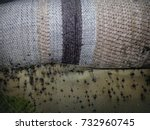Bed Bugs And Bedbug Droppings