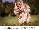 Running English Cocker Spaniel