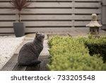 British Short Hair Cat Sits...