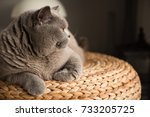 Stock photo elegant british short hair cat sitting on top of a wicker stool in a bedroom in edinburgh scotland 733205725