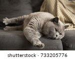Lazy British Short Hair Cat...