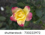 One Hybrid Tea Yellow With Pin...