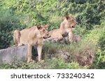 lionesses | Shutterstock . vector #733240342