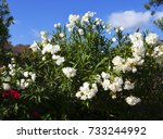 Blooming Oleander Bushes On A...