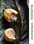 Small photo of Mature cocoa fruit (Theobroma cacao) Malvaceae family. Rainforest Amazonia. Combu Island, Belem do Para, Brazil.