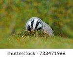 badger in green forest  animal... | Shutterstock . vector #733471966