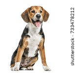 beagle sitting and panting ... | Shutterstock . vector #733478212