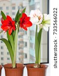 red and white amaryllis flowers ... | Shutterstock . vector #733566022
