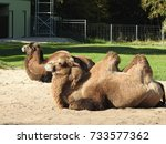 camels in zoo | Shutterstock . vector #733577362