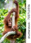 central bornean orangutan  ...   Shutterstock . vector #733713556