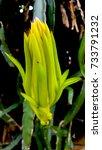 Small photo of Dragon fruit flower or Pitaya flower blooming (Hylocercus undatus(Haw) Brit. & Rose.).