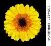 Beautiful Yellow Gerbera Flower with Orange and Black Center  Isolated on Black Background - stock photo