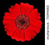 Perfect Red Gerbera Flower Closeup Isolated on Black Background - stock photo