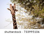 portrait of a reticulated... | Shutterstock . vector #733995106