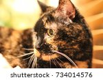 Stock photo a close up of a tortoiseshell pet cat s face the tortie cat has black and yellow fur and long 734014576