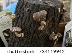 Small photo of Sofia, Bulgaria - october 8, 2017: Mushrooms Shiitake grown on oak logs on a farmers market on the street. Bioproduct cultivation in natural environment