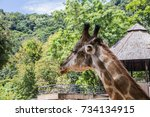 giraffe in the zoo. | Shutterstock . vector #734134915