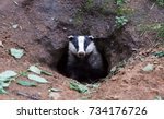 Small photo of Badger is very wary and alert emerging from his Sett, Meles Meles The badger makes sure it is safe before leaving his sett