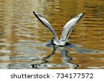 Small photo of Black-headed gull.A young bird, the plumage of a young bird. The bird lands on the surface of the water. Autumn, October.