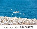 Overlook Of White Gannet Birds...