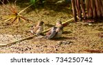 scaly breasted munia protecting ... | Shutterstock . vector #734250742