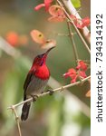 Small photo of A beautiful and colorful male Crimson sunbird, Aethopyga siparaja for latin name or Scientific name, is enjoy eating nectar from wild flowers.It is a national bird of Singapore.